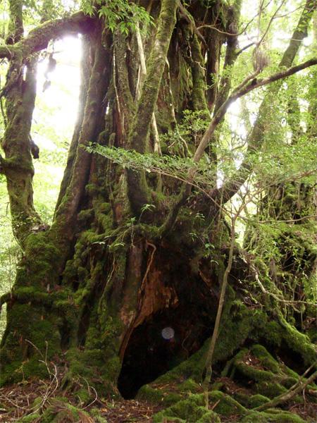 屋久杉に写りこむ光の玉が何だか神秘的 もしかして木霊かな