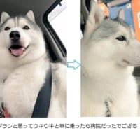 犬の表情劇的ビフォーアフター ドッグランだと思ってたら病院…