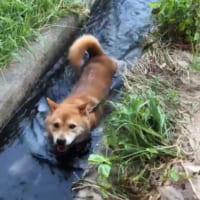 夏はさっぱりと流しワンコ!? 用水路で水遊びする…