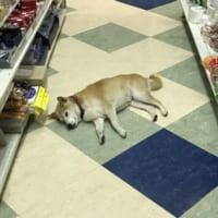 柴犬が床に落ちまくってる文具店が話題 スヤァな寝顔に常連に…