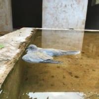 謎の不時着?緊急着水したような鳩の様子に「涼んでるのかな?…