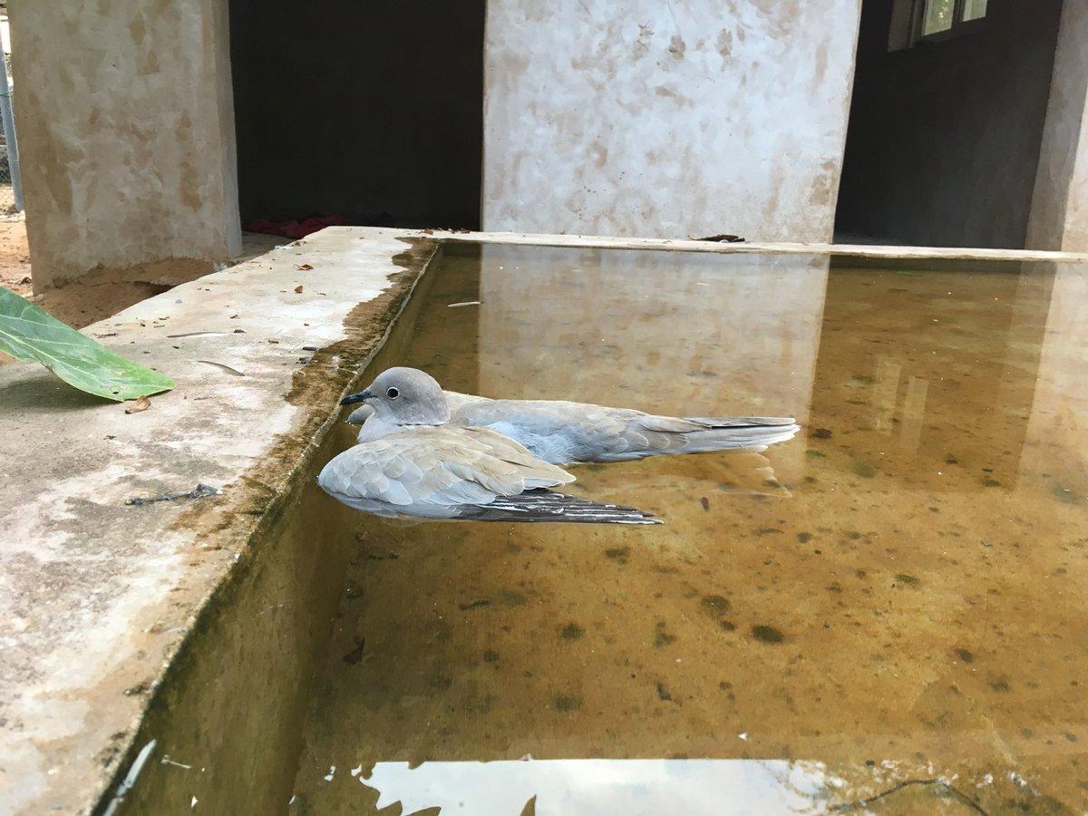 謎の不時着?緊急着水したような鳩の様子に「涼んでるのかな?」実は違った模様