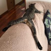 チラリとのぞくたわわな膨らみ…無防備な猫の寝姿に熱視線