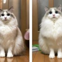 もっふもふ! 長毛種猫の夏と冬の違いが素晴らしく…