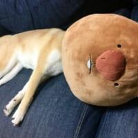 この子、どこの子? 朝起きたらびっくりな柴犬に可愛いやらお…