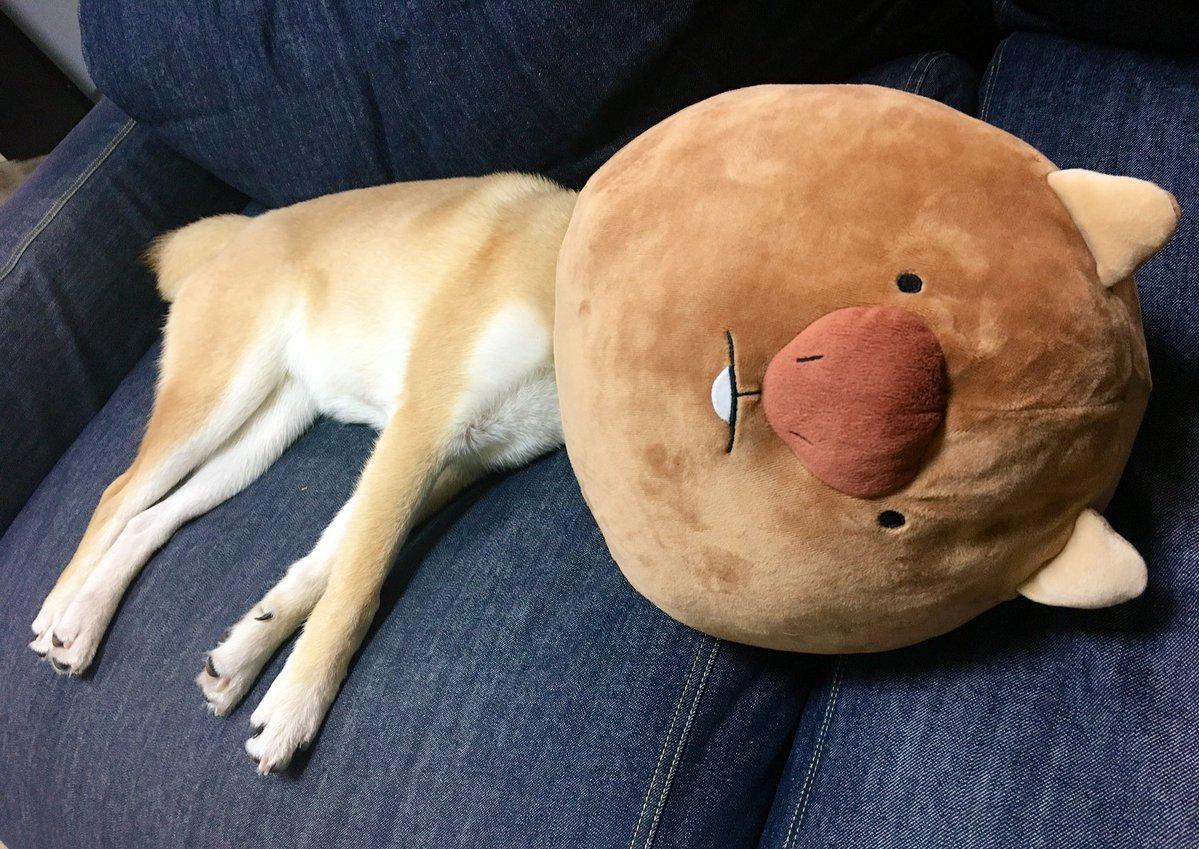 この子、どこの子? 朝起きたらびっくりな柴犬に可愛いやらおかしいやら