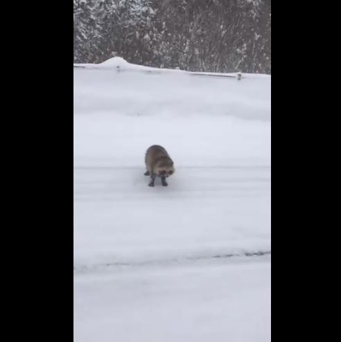 """雪景也滑倒浣熊狗许多""""可爱""""的声音落到白银世界的mofumofu"""