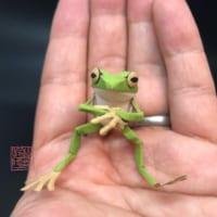 「お~いお茶」のダンボールが「切り折り紙」のカエルに生まれ…
