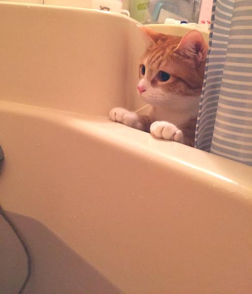 猫 風呂好きにするには