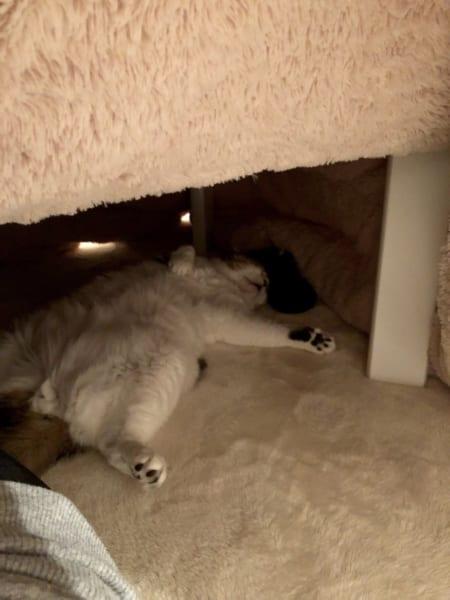 ねこはこたつで大の字になる~ 飼い主が困る愛猫の寝相