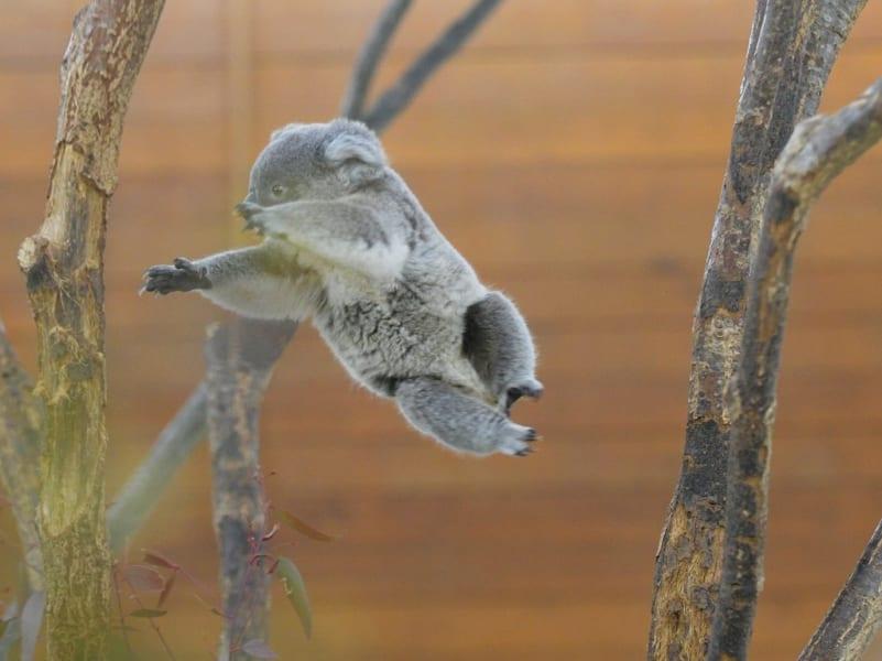 子コアラの躍動感がすごい! ジャンプしまくる姿が激写され可愛すぎる