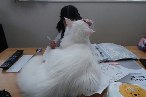 「かまってーかまってー」 宿題中の女の子と猫とのほほえましい攻防戦