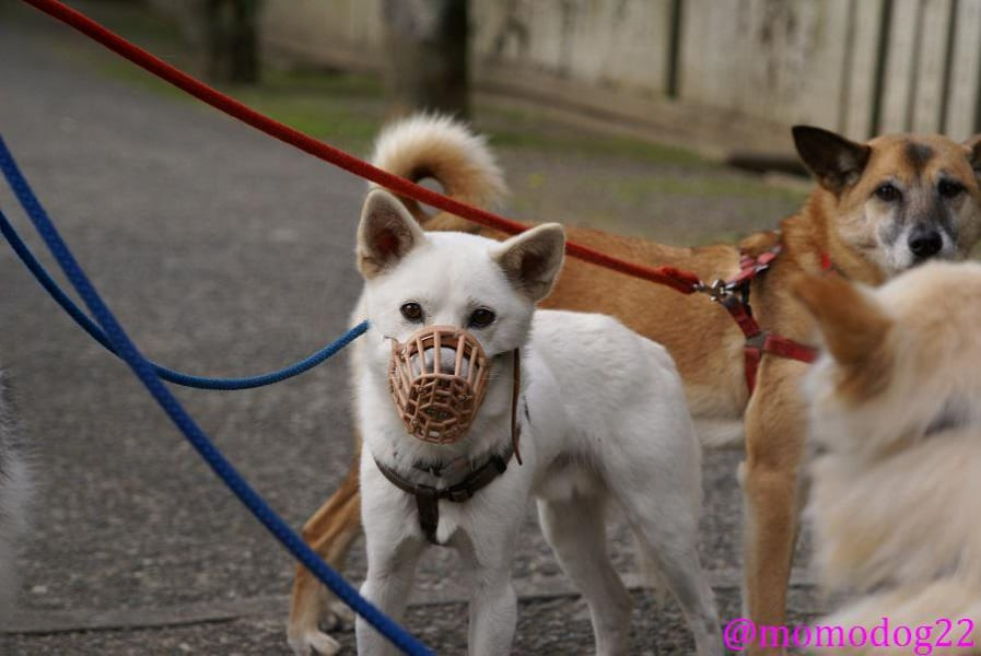 犬につける口輪は虐待ではありません 犬も人も守るもの