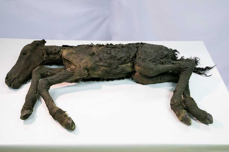 「マンモス展」で「古代仔ウマ」完全体冷凍標本の世界初公開決定