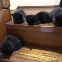 まっくろくろすけ下りといで~!フワフワな真っ黒子猫に「可愛い」の嵐