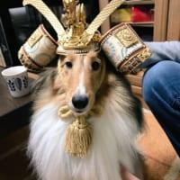 犬に五月飾りの兜をかぶせてみた結果……スーパージャストサイ…
