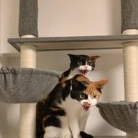 掃除機への怒りの「シャー!」×2!ダブルで怒る猫たちの鬼の…