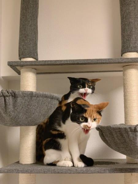 掃除機への怒りの「シャー!」×2!ダブルで怒る猫たちの鬼のニャン相