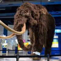 世界初公開の貴重な標本一挙公開!日本科学未来館「マンモス展」…