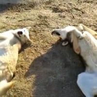 オオカミ犬の意外な姿!?ゴロンゴロンしている仕草…