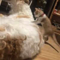 子猫がこねこね大型犬をマッサージ!?ボルゾイと子猫の生活が…