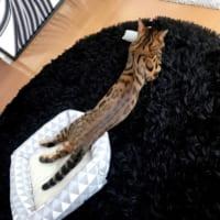 胴が「長~~~~~い」ニシキヘビのようなニャンコを発見
