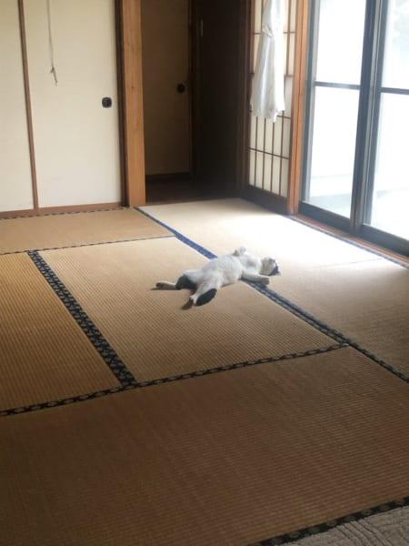 大雨で気の毒だから家に上げた猫 いきなり盛大にくつろぐ「見事なヘソ天!」