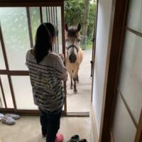 玄関開けたら馬がいた!神社の御神馬が割とフリーダムで愛され…