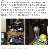 子猫が行方不明!?心配してたら仏壇裏から渋い顔してひょっこり 見つかってほっとするやら脱力するやら