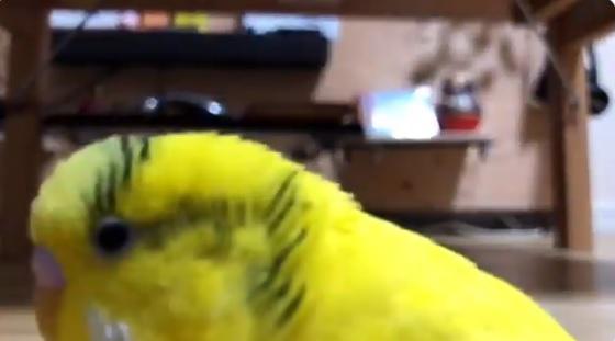 YouTuberが飼うインコもやっぱりYouTuber!?隠しカメラに猛烈アピール!