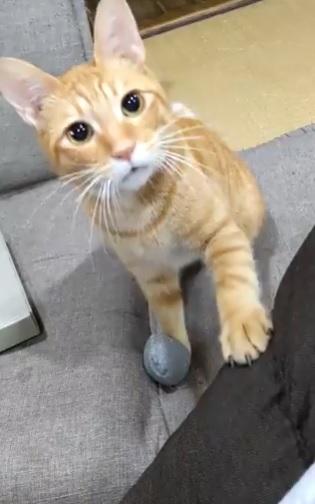 取ってこいではなく「早よ投げろ」? おもちゃを持ってくるのが大好きな猫