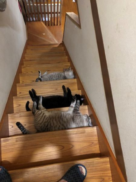 猫たちによる集団嫌がらせ? 階段に猫トラップ発生で立ち往生