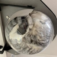 透明ハンモックの中の猫ってこうなってるのか 下から見た姿は…