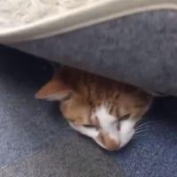 猫ふんじゃったにご用心! オフィスの足元ホットカーペットを…