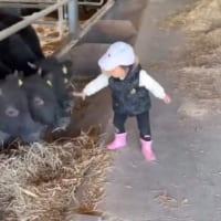 牛さんのお世話をする1歳児 一心不乱に頑張る姿に「ずっと見て…
