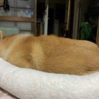 気持ち良さそうに眠る柴犬が「いなり寿司」そっくり!