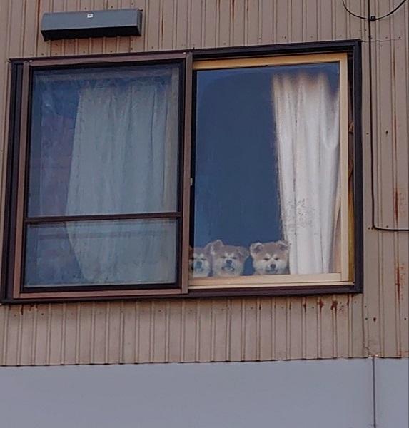羨ましいワン!散歩に行く母犬を見つめる子犬たち「ジーーーーーー」