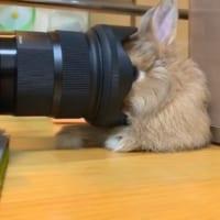 カメラ慣れしすぎているウサギが発見される