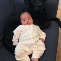 「母性が強い……」 黒ラブラドールが示すヒトの赤ちゃんへの愛…