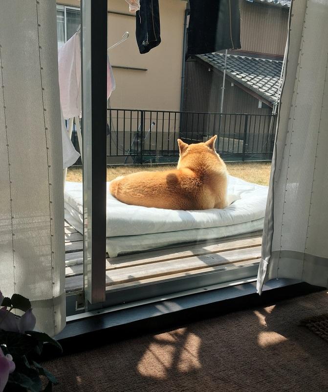 布団を干そうとしたら……犬氏「布団あるやんラッキー!日向ぼっこしたろ」