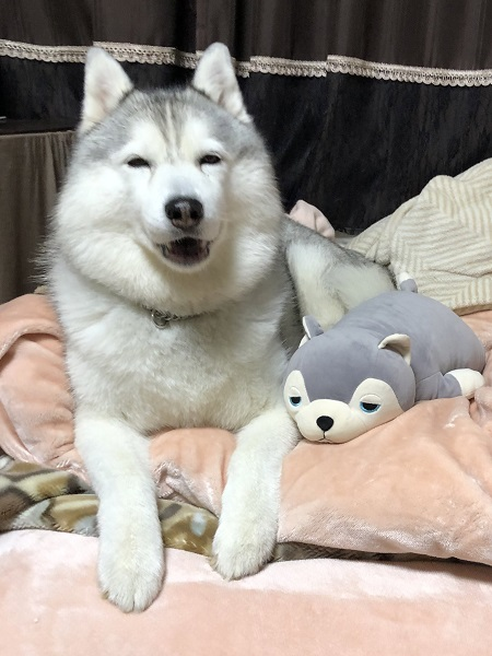 ハスキー犬の「友達できた」みたいな笑顔に和む人続出