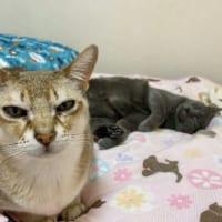 「僕が殺りました」 鋭い眼光で見つめる猫