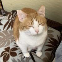 なでさせてあげないと……眠気と戦い「なでられ待ち」する猫さん