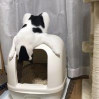 自分のうんちに興味津々?トイレのあと覗き見しちゃう猫さん