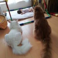 赤ちゃん見守るボディーガード猫 頼もしい護衛に5…