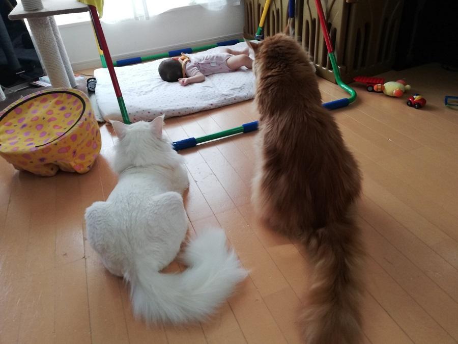 赤ちゃん見守るボディーガード猫 頼もしい護衛に5万イイネ