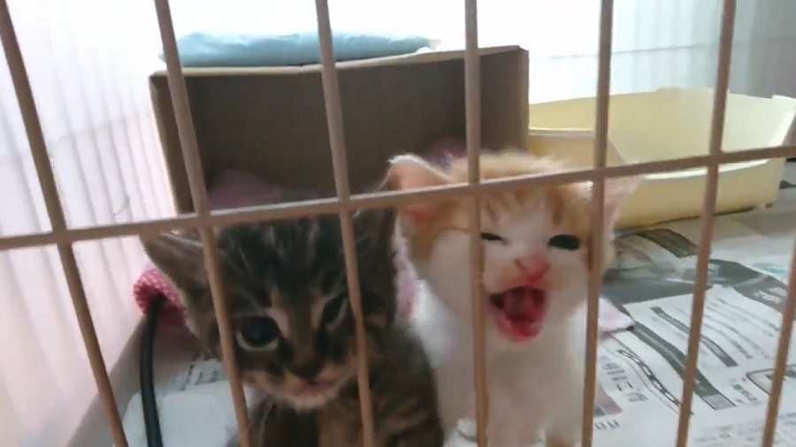 弱っていた子猫たちが元気に 保護猫ボランティアに託された命のバトン