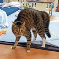 猫の威嚇ポーズは「やんのかステップ」と言うらしい 本気モー…