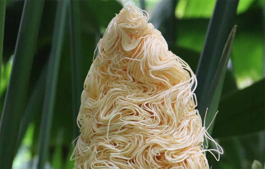 まるで山盛りそうめん 不思議な見た目の「パナマソウの花」