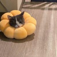 猫のポンデリングが食べちゃいたいくらい可愛い